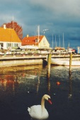 Swans and seagulls greet you in the harbor of Dragør, outside Copenhagen